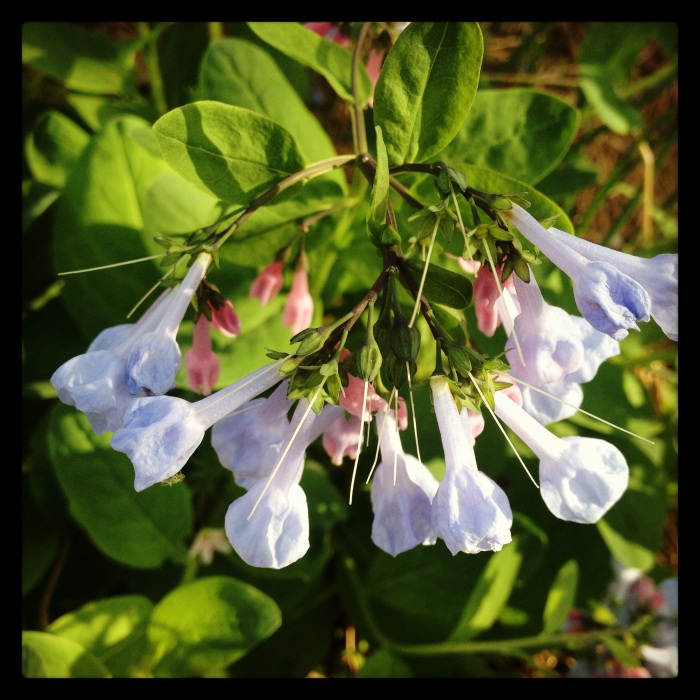 """The Bluebells are usually in full bloom by early April and last about three weeks. They give portions of the trails at CRSV an """"enchanted fairytale"""" vibe."""