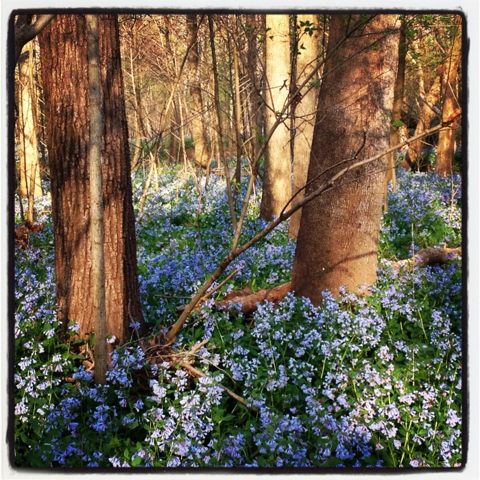 Bluebell ground cover.