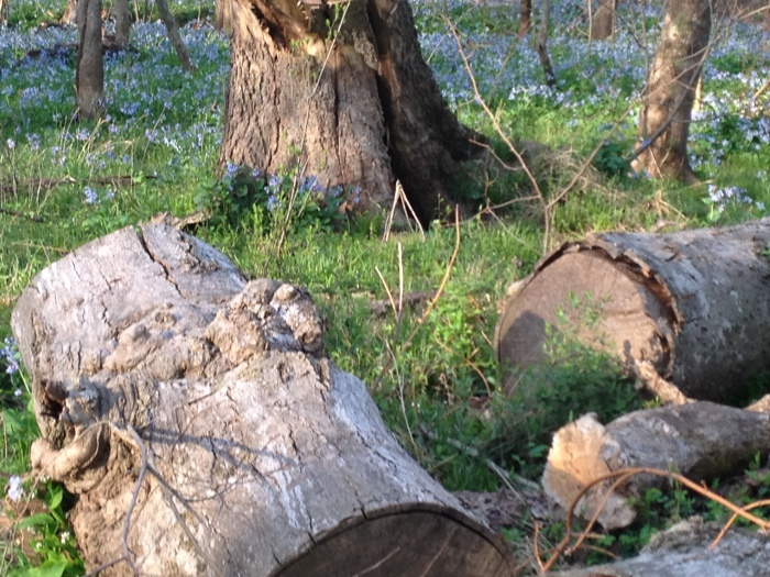 Tree trunks and bluebells.