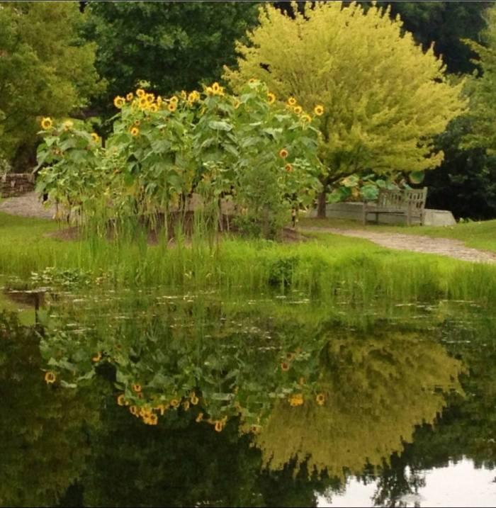 Sunflowers and reflections at Meadowlark Gardens.