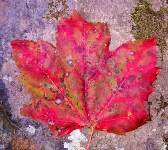Another colorful leaf