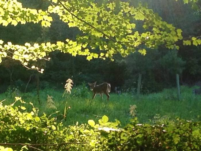 A deer at Walney Park on one of my after work walks.