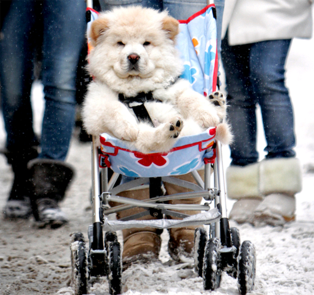 Dog in a stroller.
