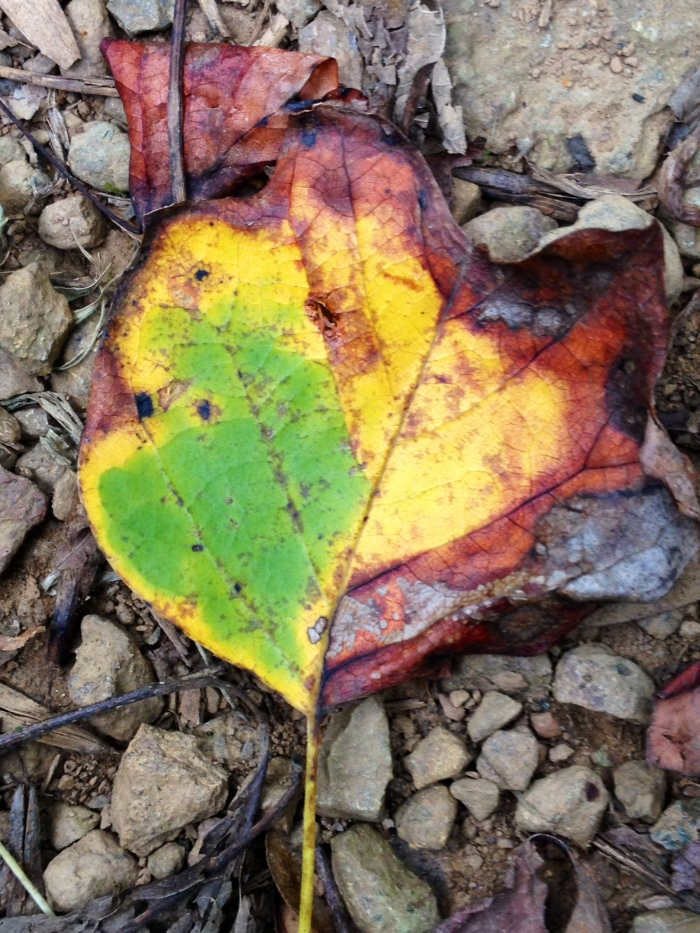 On my hike I found this leaf that couldn't decide what color it wanted to be before it died.