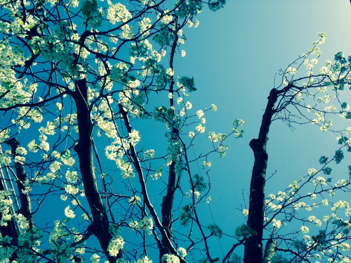 I took this picture in downtown Occoquan. Pear trees might be pretty, but they stink.