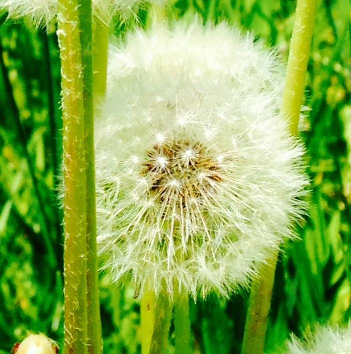 final-dandelion-picture.jpg