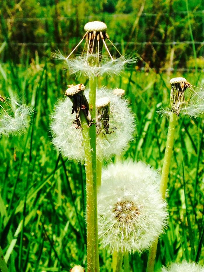 Dandelions, up close.