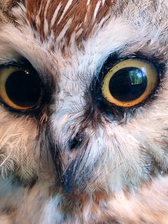 Front Royal Owl