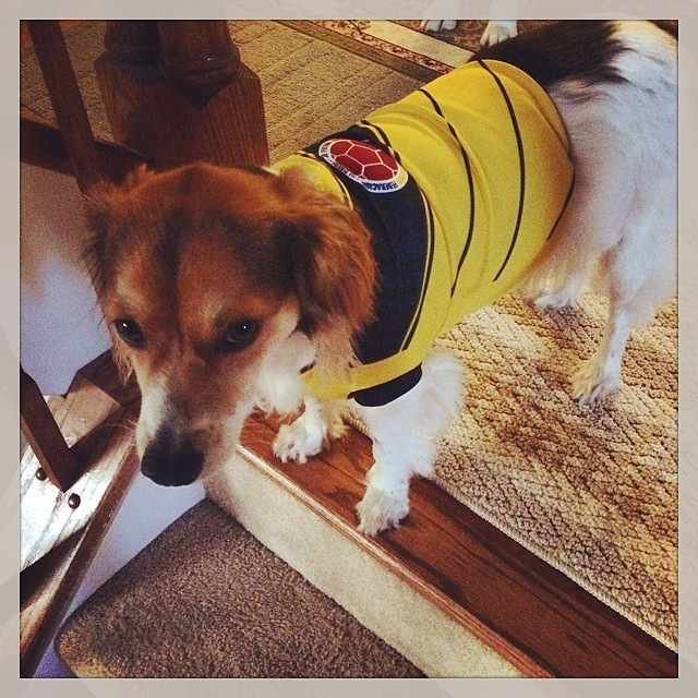 Here is my dog Alfie, wearing his little Colombian jersey. Even though Alfie doesn't exactly look like he's in celebration mode, he should! Colombia beat Japan 4-1. Can't wait for Saturdays' game. Who's up for a World Cup Party?