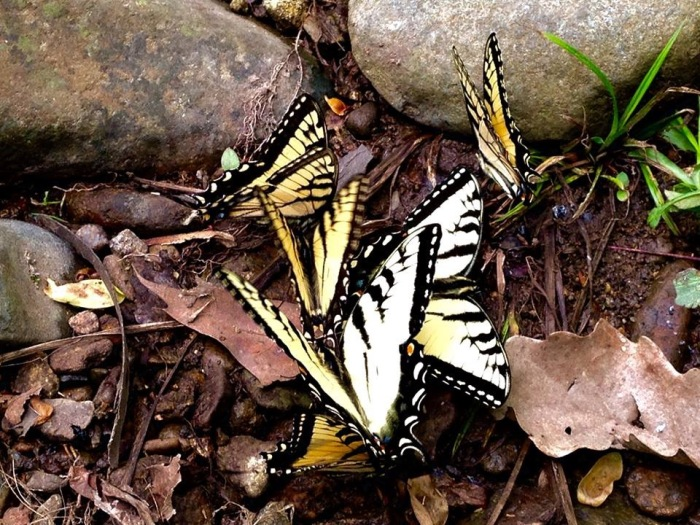 Sperryville 6 Butterflies