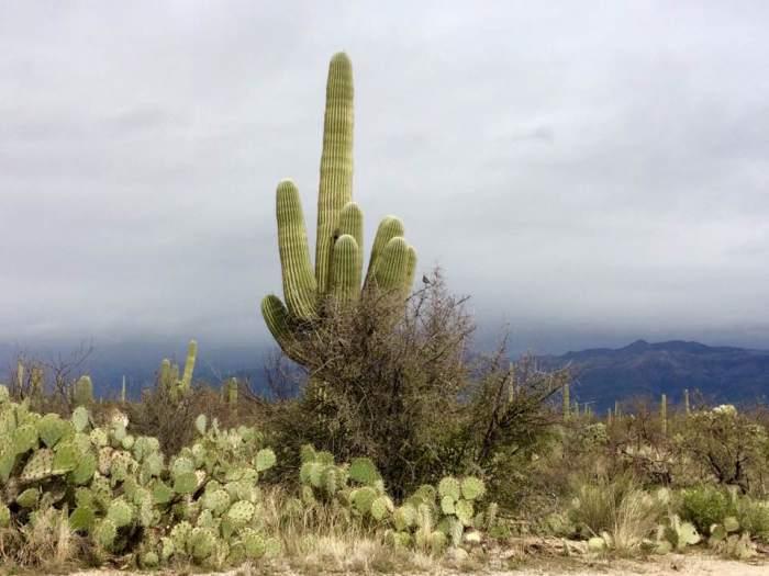 arizona-saguaro-national-park-saguaro-cactus