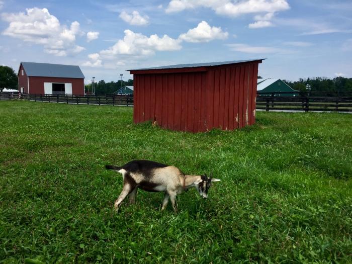 F.F goat