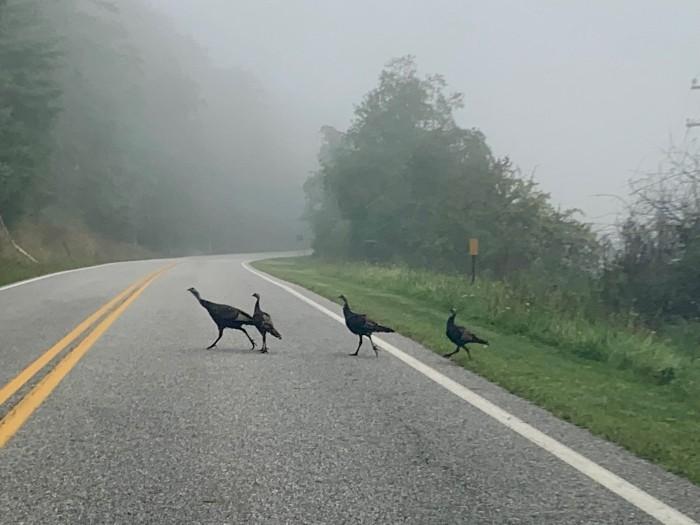 Bath County Turkeys
