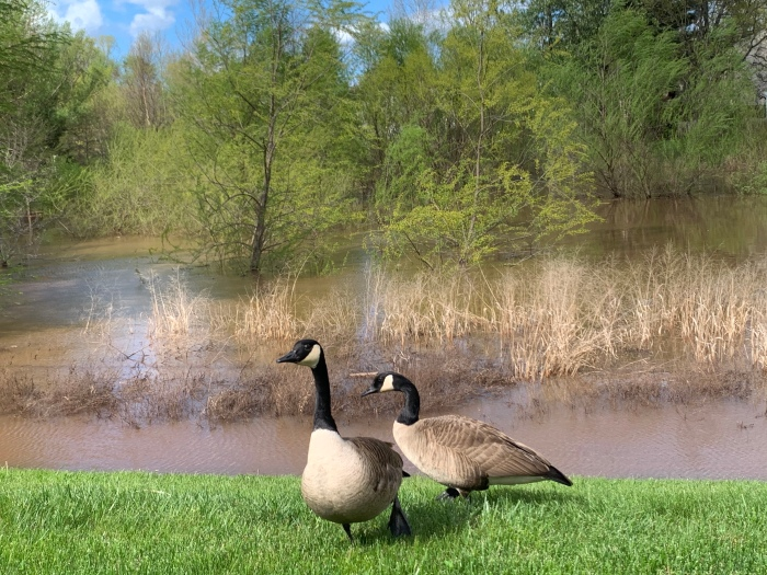 Walk Two geese in the drainage ditch